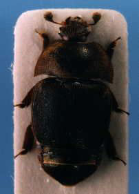 Hive Beetle on stick